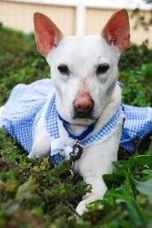 Snow - Formosan Mountain Dog is an adoptable Basenji Dog in Los Angeles, CA. There may be no better feeling in the world than cuddling on the couch with your dog on a lazy weekend, and young Snow is t...