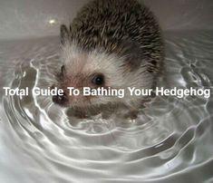 Total Guide To Bathing Your Hedgehog Hedgehog Pet Cage, Hedgehog For Sale, Hedgehog Bath, Hedgehog Habitat, Baby Hedgehog, Hedgehog Names, Pet Shampoo, Pet Monkey, Pets For Sale