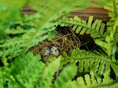 This is the little nest, hidden in the faux ferns , in the old varpenders tool box.