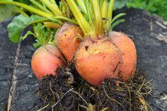 Om jag skippar gallringen på betorna får jag små och fina primörer. Läs hur jag gör på http://skillnadenstradgard.blogspot.se/2014/06/skippa-gallringen.html #trädgård #odla #garden