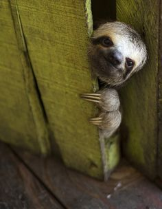 "the-seraphic-book-of-eloy: """"A sloth peeks out from behind a door on a floating house in the 'Lago do Janauari' near Manaus, Brazil, on May 20, 2014"" Photo: Felipe Dana """