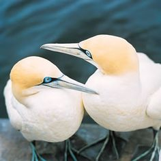 Cape Gannets - South Africa | Flickr - Photo Sharing!