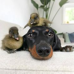 "Acquire fantastic suggestions on ""dachshund puppies"". Dachshund Art, Dachshund Puppies, Cute Puppies, Wiener Dogs, Cute Funny Dogs, Silly Dogs, Unusual Animal Friends, Cute Dogs Images, Sweet Dogs"