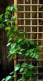 Bamboo trellises |