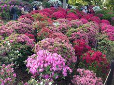 Lovely flowers at their Azalea Festival! – recenzí Nezu Shrine, Bunkyo, Japonsko - TripAdvisor