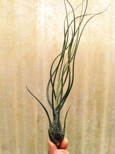 Airplant Butzii Tillandsia 5 Pack by GardenInTheCityShop on Etsy, $12.99