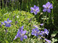 Geranium Orion and Buxus sempervirens, photo Arthur Road Landscapes