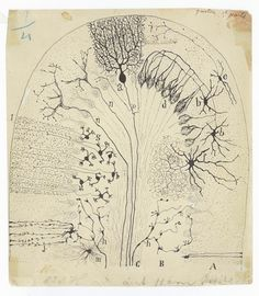 Santiago Ramón y Cajal, Parasagittal section of the cerebellum, 1894. Image courtesy of Cajal Legacy, Instituto Cajal (CSIC), Madrid