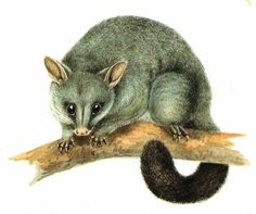 A drawing of the common Brushtail Possum Australian Possum, Australian Animals, Baby Possum, Baby Animals, Cute Animals, Watercolor Animals, Wildlife Art, Animal Paintings, Guinea Pigs