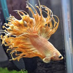 A stunning flame-like #crowntailbetta such vibrant colours are so well-suited to crowntails. #bettaboxx #betta