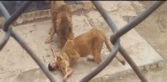 AELR NEWS: Joven se lanza a fosa de leones creyendo que Dios ...