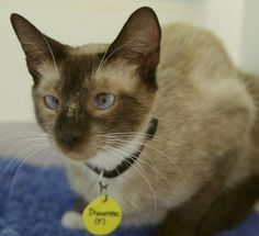 Meet+Shawnee,+a+Petfinder+adoptable+Siamese+Cat+|+Atascadero,+CA+|+Petfinder.com+is+the+world's+largest+database+of+adoptable+pets+and+pet+care+information....