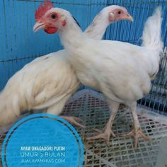 Ayam Onagadori warna putih umur 3 Bulan dalam perjalanan menuju ke Bumi Serpong Damai di Tangerang Selatan sore ini...  .  .  .  .  .  Ayo pesan sekarang kami bisa mengirimkan ke seluruh Indonesia via Kargo hewan terpercaya. jualayamhias.com Kantor: Donoharjo Ngaglik Sleman Yogyakarta Kandang utama: Muntilan Magelang  TELKOMSEL : 0812 2028 8686 IM3 : 08564-772-3888 (Whatsapp) AXIS : 0838-6918-5523 LINE : 08564-772-3888 LINE ID : jualayamhias.com   #ayamhias #ternakunggas #ternakayam…