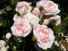 Amazing Fragrance with Blooms for Months The New Dawn rose is a strong grower and is unusually hardy and disease resistant. 'New Dawn' has long been a favorite climber. New Dawn roses have double pink, fragrant flowers that fade to soft pink and are carri Growing Roses, Planting Flowers, Plants, Garden, Climbing Roses, Pruning Roses, Fragrant Flowers, Flowers, Climbing Roses For Sale