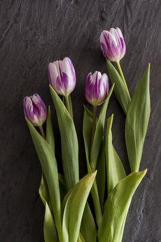 Purple & white tulips #flowers