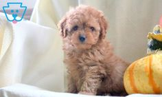 Banks | Poodle - Toy Puppy For Sale | Keystone Puppies Toy Puppies For Sale, Poodle Puppies For Sale, Design Development, Banks, Parenting, Teddy Bear, Toys, Animals, Activity Toys