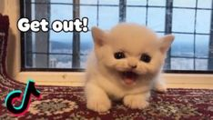 Angry Little Cat – Aww Cute Tik Tok Dogs And Cats Video 2020 | Pets Paws Dog Pin, Pet Paws, Cat Gif, Tik Tok, Live News, Pets, Funny, Animals, Check