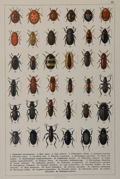 Antique print.Chromolithograph.Color plate. Beetles of Europe. Tenebrionidae family. 1894,Published in Stuttgart by Hofmann. Not a copy(119 years old print) Good Condition.Reverse blank.Good quality paper. Dimension;9,8x6,6 inches .25x17cm. More similar prints in our shop: https://www.etsy.com/your/shops/CastafioreOldPrints/sections/13518871 Shipment in rigid envelope. Only pay shipping for the first item. Thank you for your visit
