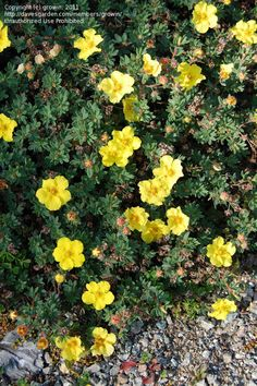 Welcome to the famous Dave's Garden website. Join our friendly community that shares tips and ideas for gardens, along with seeds and plants. Clay Soil Plants, Garden Soil, Boarders, Native Plants, Yellow Flowers, Aurora, Gem, Colorado, Landscaping