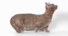 Jenis Kucing Ras Munchkin | Tazesiru Cat's House