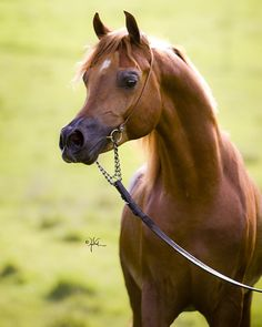 Montana Firenze, one of the most beautiful arabians I have seen.
