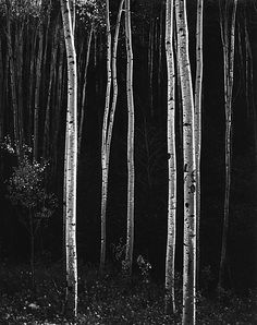 Aspens, Northern New Mexico, 1958 - Ansel Adams