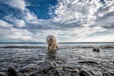 https://flic.kr/p/wKhznv | Throw | Mika im Wasser des Bodensees zwischen Meersburg und Hagnau, ungeduldig schaut er auf den Stock den ich in der Hand halte.