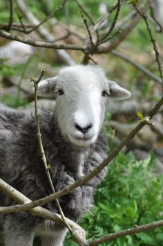 A herdwick Ewe hiding | Flickr - Photo Sharing!