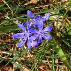Azzurro come i cieli di un tempo. Scilla bifolia. I fiori delle Alpi Apuane