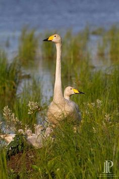 Trumpeter swans...the trumpet of the swan!