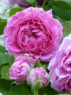 ~Madame Isaac Pereire, 1881.. named after the wife of French banker, MIP maybe has the strongest deep rose perfume scent.