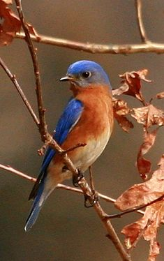 Eastern Bluebird On Oak -As I looked up into the beautiful blue sky I always…