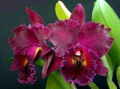 Orquídea Blc. Chia Lin 'New City' - Planta Tamanho 06 - adulta  - foto principal 1