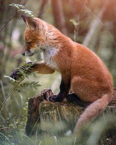 Amazing Animal Pictures, Wild Animals Pictures, Fox Pictures, Nature Animals, Animals And Pets, Baby Animals, Funny Animals, Cute Animals, Collage Mural