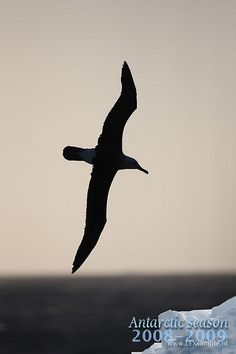 Albatross silhouette - tattoo idea