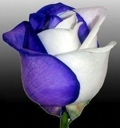 Blue and White Rose via Lovely Roses Facebook page