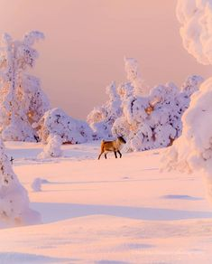Is This a Winter Wonderland ? Golden Moment just before Sunset Before Sunset, Winter Christmas, Arctic, Finland, Winter Wonderland, Camel, In This Moment, Mountains, Animals