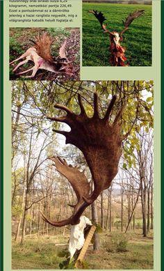 Fallow deer. Big Game Hunting, Elk Hunting, Animals Beautiful, Cute Animals, Fallow Deer, Elk Antlers, Archery Bows, Face And Body, Horns