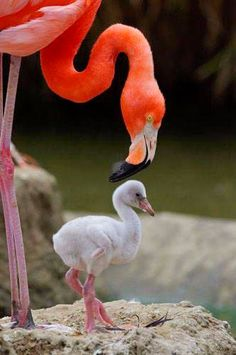 A flamingo tending to its chick. Chicks don't start to look like flamingos for a while after birth; the strange beak develops at two weeks and full adult plumage may not develop for five years. Pretty Birds, Beautiful Birds, Animals Beautiful, Cute Baby Animals, Animals And Pets, Funny Animals, San Diego Zoo, Tier Fotos, Colorful Birds