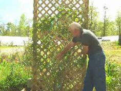 How to train a climbing rose on a vertical trellis so that it will make a wall of flowers.