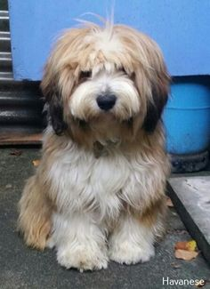 More About Havanese Dogs White Source by ameersellers The post Havanese Yorkie appeared first on Douglas Dog Hotel. Havanese Puppies For Sale, Havanese Dogs, Cute Dogs And Puppies, Doggies, Animals And Pets, Baby Animals, Cute Animals, Cute Dogs Breeds, Dog Breeds