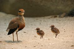 Temminck's Courser, with chicks, (Cursorius temminckii) is a bird in the pratincole and courser family, Glareolidae. It is a wader which lives in sub-Saharan Africa.