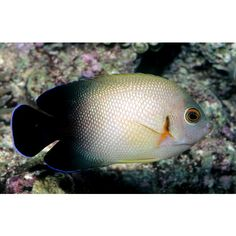 Halfblack angelfish (Centropyge vroliki)