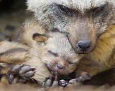 BABY FOX SNUGGLE Photo- 8 X 10 Print – Baby Animal Photograp0h, Wildlife Photography