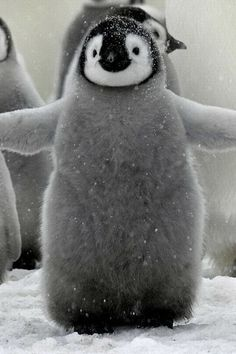 If that doesn't make you smile, get thee to a doctor. Baby penguin hug - squee!