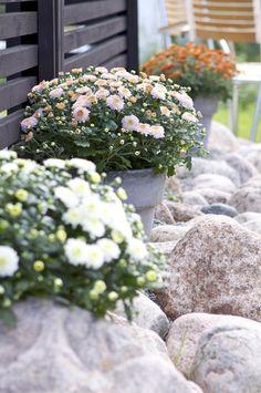 Bollkryss - ingår i släktet krysantemum | Blomsterlandet.se