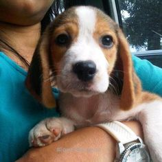Love Beagles so much.#Beagles #dogs