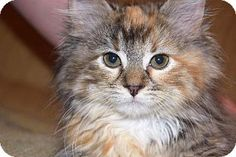 Fenton, MO - Domestic Longhair. Meet Holly, a kitten for adoption. http://www.adoptapet.com/pet/15734989-fenton-missouri-kitten