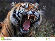 planet tiger - Google Search