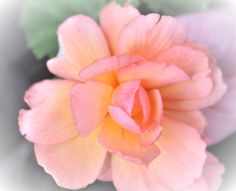 Peach Begonia Begonia, Peach, Make It Yourself, Rose, Flowers, Plants, How To Make, Photos, Beauty
